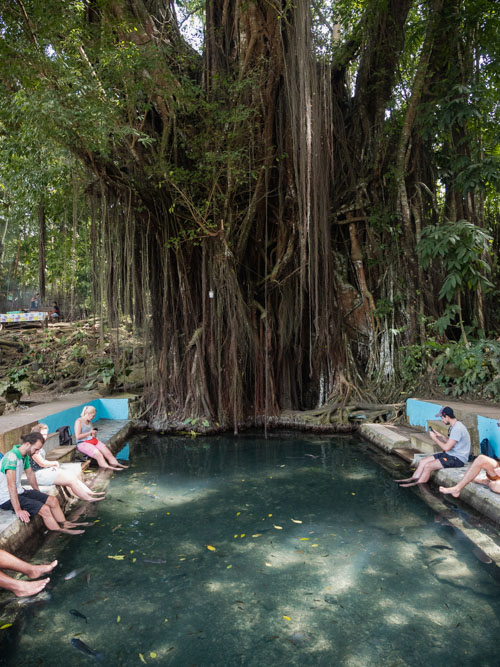A century old balete tree looms over visitors with their feet in the pool