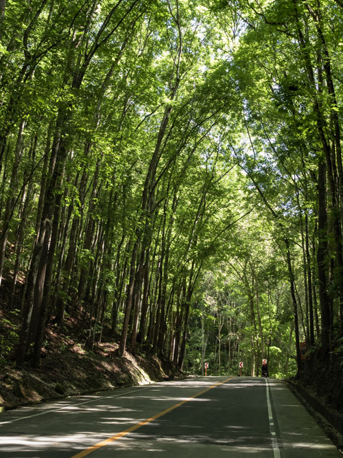 Road going through man made forest in Bohol Philippines