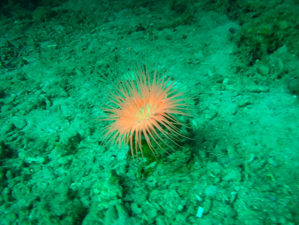 A pink tube anemone on the sea surface of Apo Island, Philippines