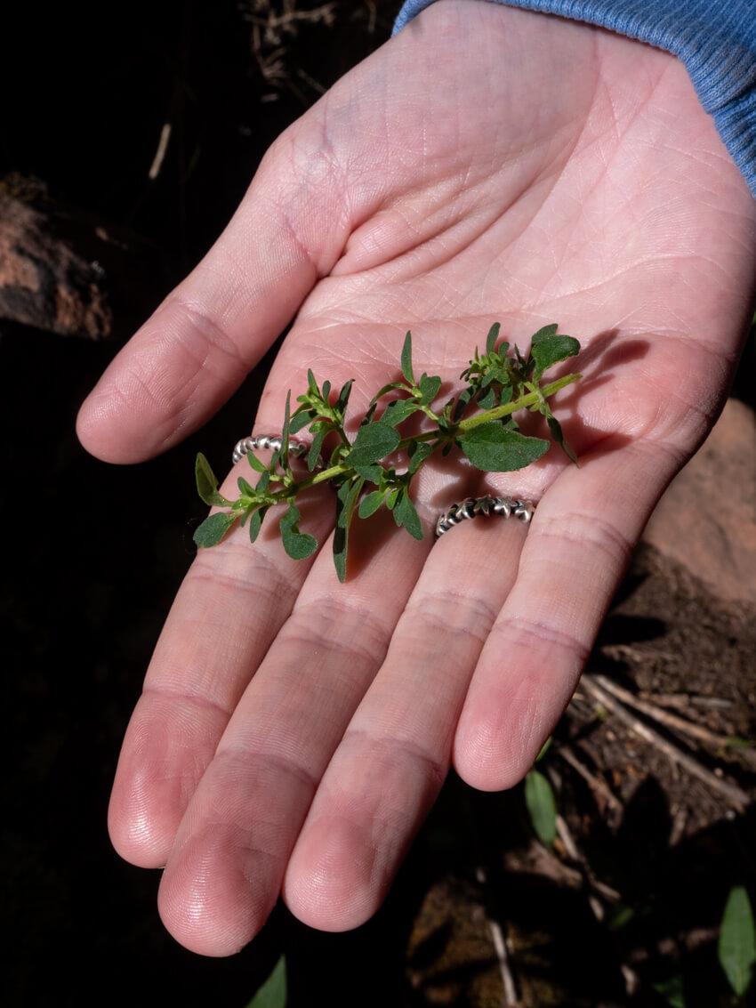 Tumillo plant in a hand, Torotoro National Park, Bolivia