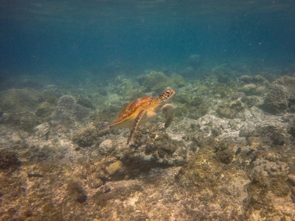 turtle-snorkel-apo-swim
