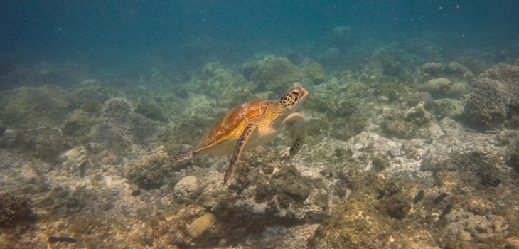A turtle swims to the surface, Apo Island, Philippines