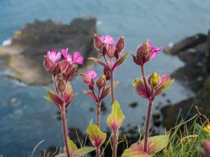 handa-island-cliff-flower