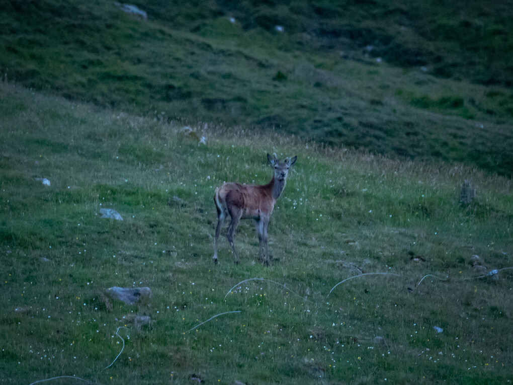 A deer looks back at the camera in grassy land near Kearvaig