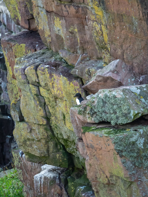 A razorbill sits among the rocks on a sea cliff