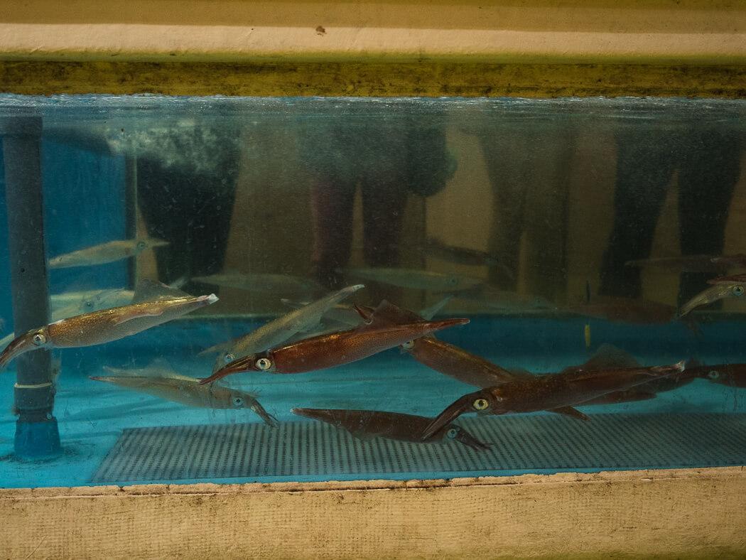 Squid swim in a man-made fish tank