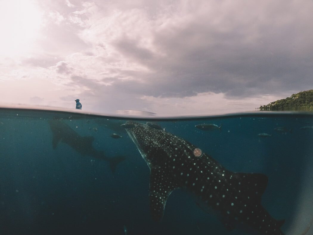 Whale sharks approach the water