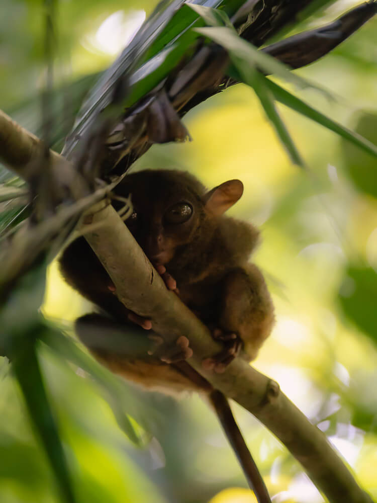 A tarsier clings to a tree