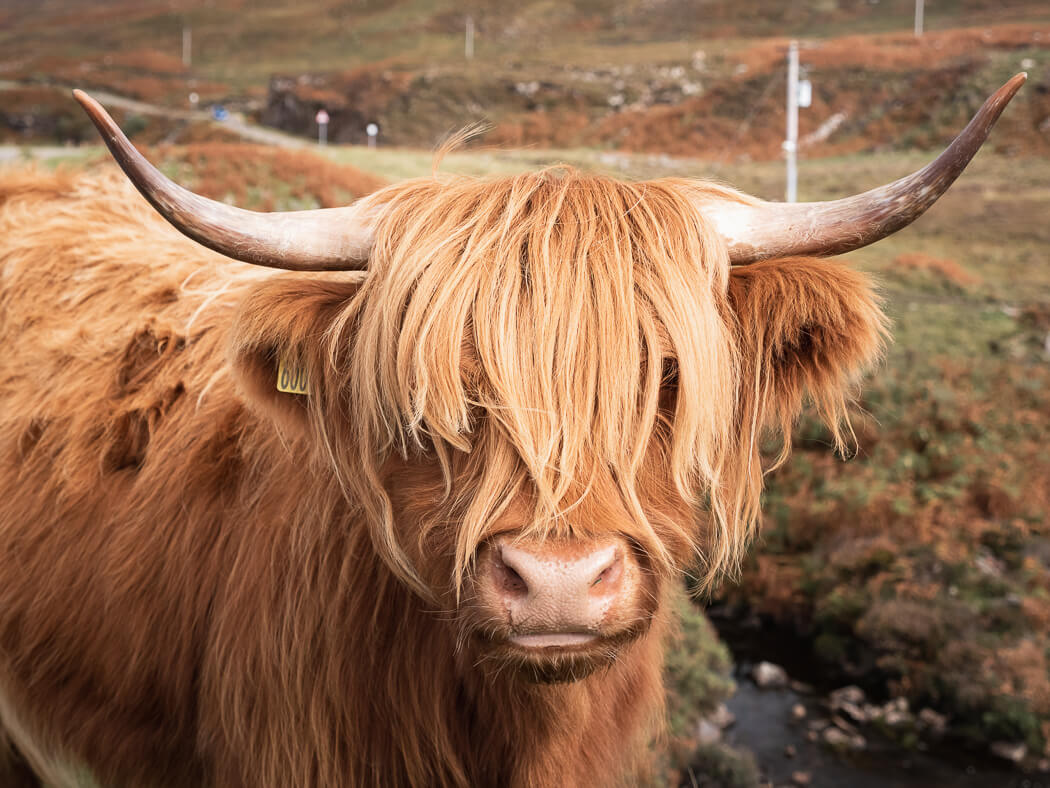 highland cow stares down the camera in Scotland